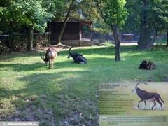 Черная антилопа в Пражском зоопарке