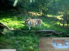 Пражский зоопарк. Уссурийский тигр